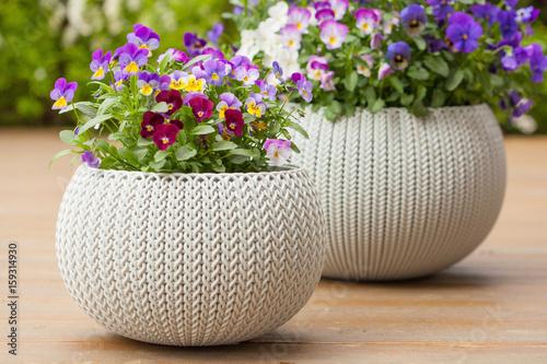 Papiers peints Pansies beautiful pansy summer flowers in flowerpots in garden