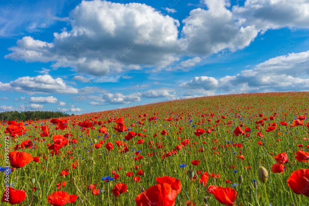 Fototapety, obrazy: Poppy field, Spring landscape