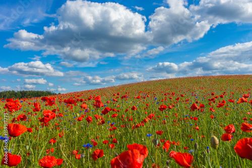 Fototapeta Poppy field, Spring landscape obraz na płótnie