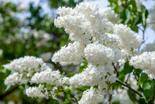 Inflorescence Of A White Lilac...