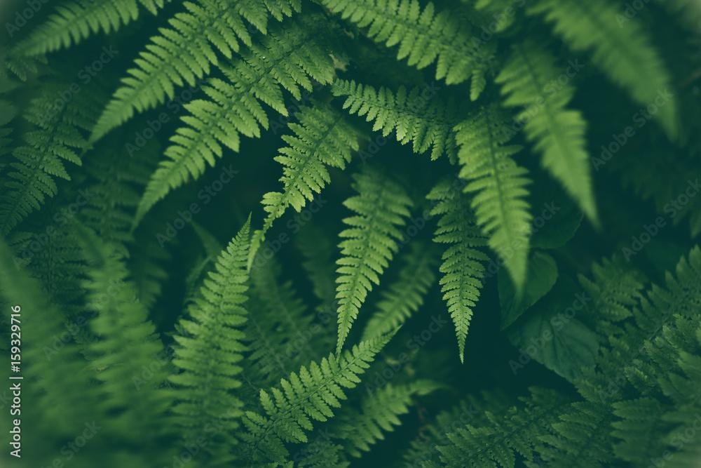 Fototapeta Fresh fern macro image. Horizontal orientation.