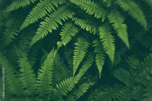 Fresh fern macro image. Horizontal orientation. - 159329716