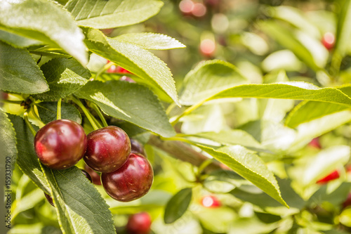Photo sur Aluminium Oliviers Cherry on a branch in the garden