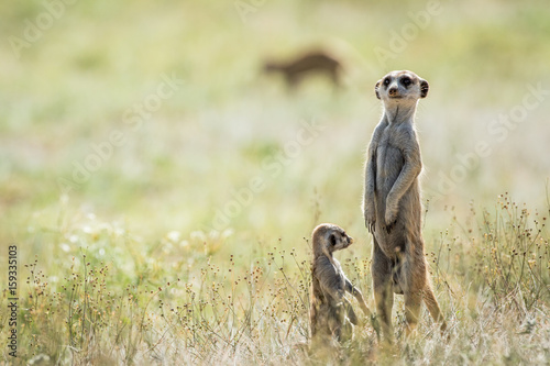 Photo  Meerkat on the look out in the Kalagadi.