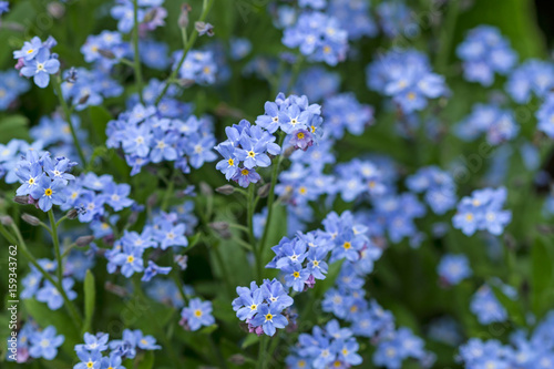 Background of forget-me-not flowers Canvas Print