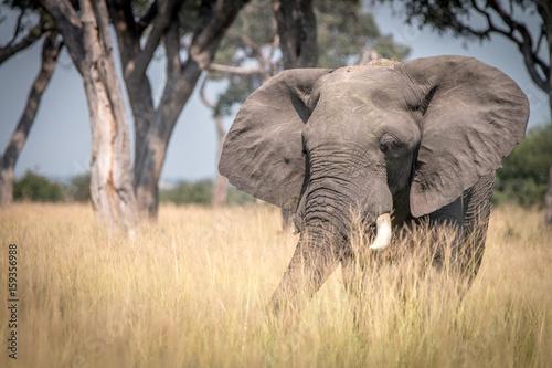 Foto op Aluminium Olifant An Elephant walking in the grass.