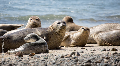 Fototapeta premium Harbor Seals (Phoca vitulina) Posing in Fitzgerald Marine Reserve, Moss Beach, California,USA. Alert Seals in the pacific coast beaches.