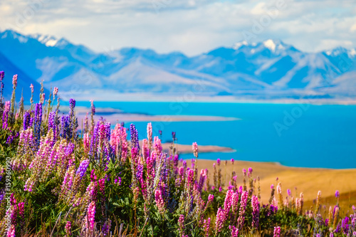 Landscape view of Lake Tekapo, flowers and mountains, New Zealand