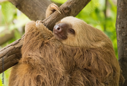 Carta da parati  Sloth resting on tree