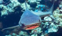 A Shark Approaches