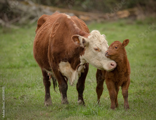 Photo Stands Cow mammal
