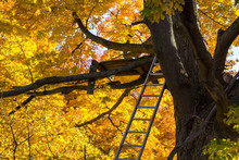 Hunting Tree Stand. Michigan Bow Hunters Homemade Tree Stand Surrounded By The Vibrant Colors Of A Large Lush Maple Tree. Michigan Only Allows Hunting From A Stand During The Whitetail Bow Season.