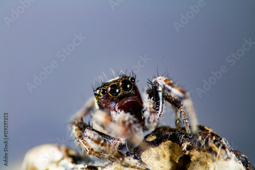 Photo Jumping Spider