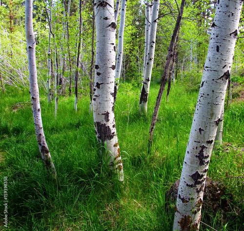 Garden Poster Birch Grove birch