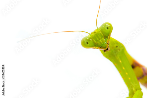 Fototapeta  Mantis looking in camera