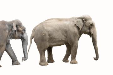 Two big elephants isolated on white background