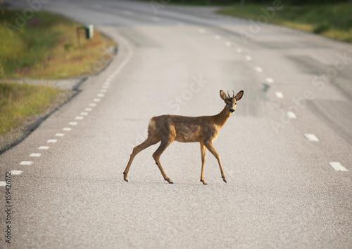 Fotobehang Ree Roe deer (Capreolus capreolus) On the road.