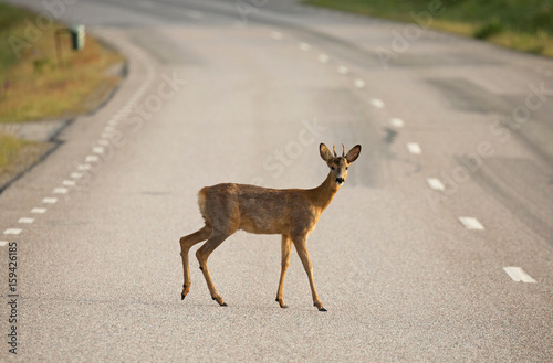 Tuinposter Ree Roe deer (Capreolus capreolus) On the road.