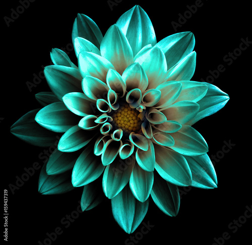 Poster de jardin Dahlia Surreal dark chrome turquoise flower dahlia macro isolated on black