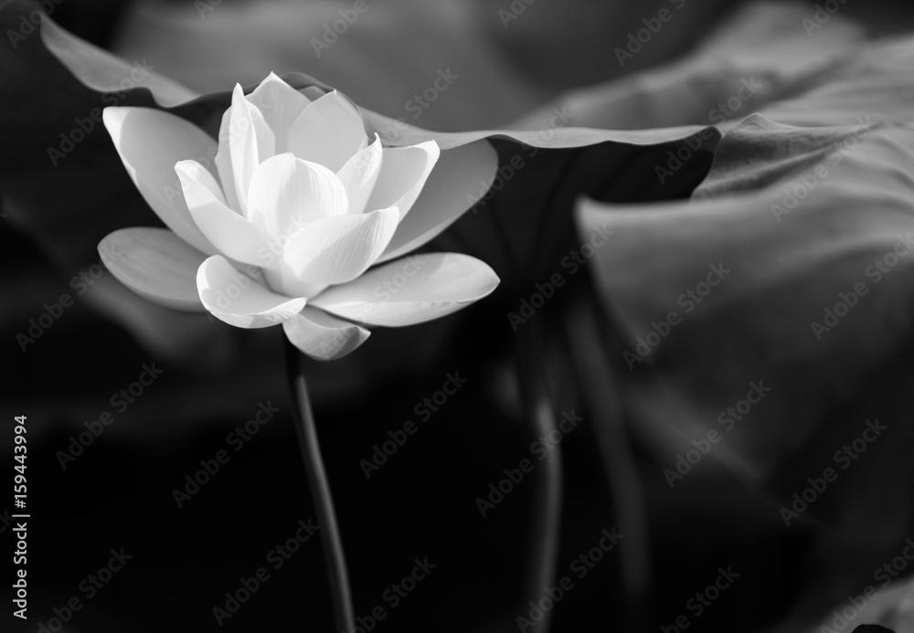 Fototapety, obrazy: Lotos w czerni i bieli