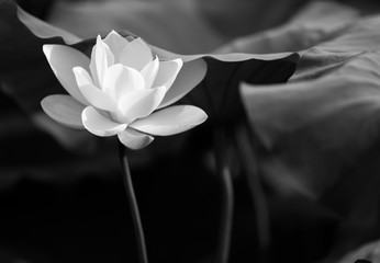 lotus in black and white