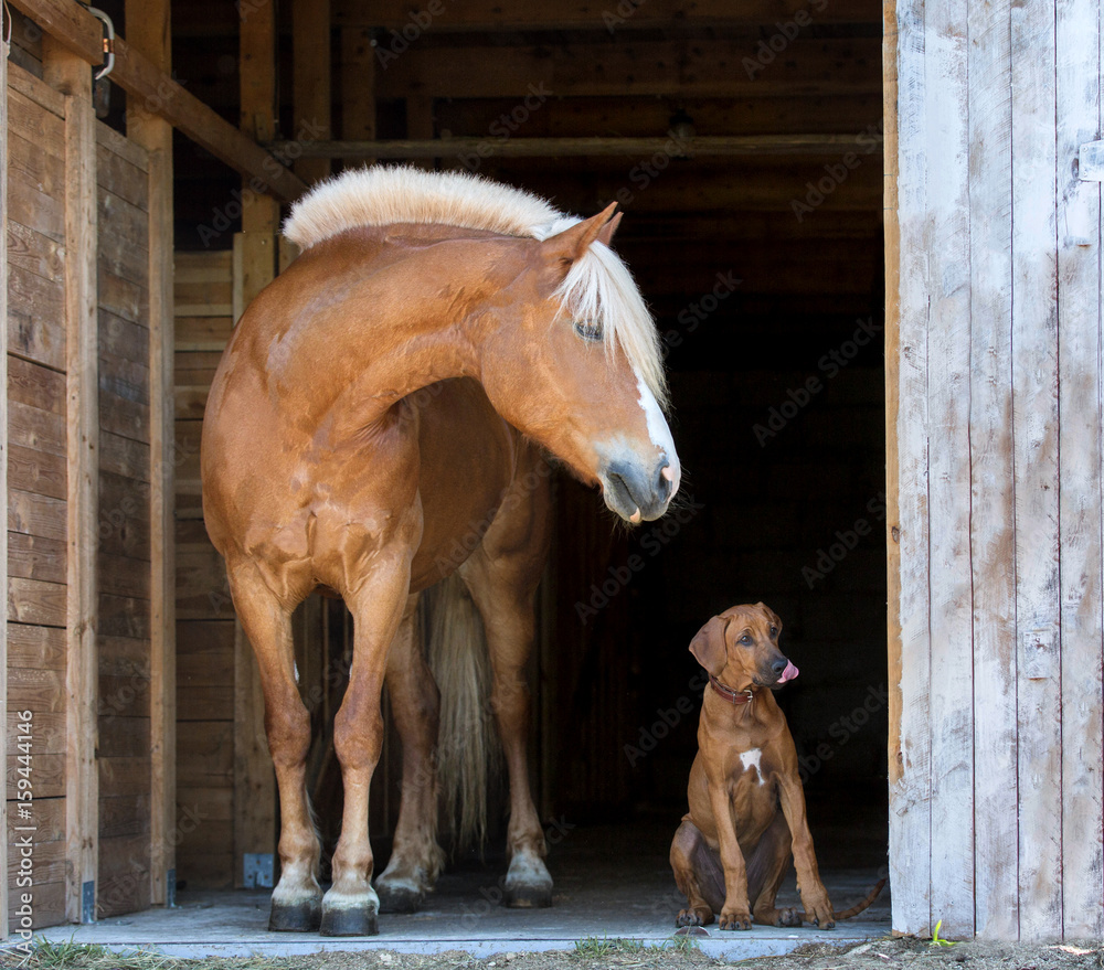 Fototapety, obrazy: Horse with a rhodesian ridgeback puppy on black background.