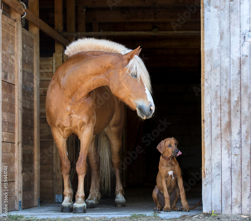 kon-z-rhodesian-ridgeback-puppy