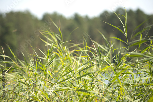 Fotografie, Obraz  the sedge grass on a Sunny day in a forest