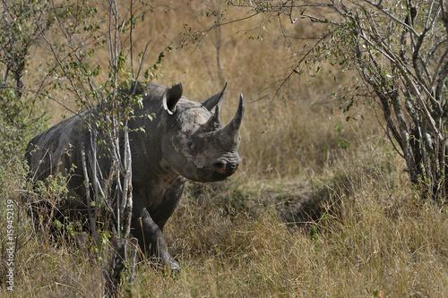 Spetsnoshörningen stormar fram i Massai Mara.