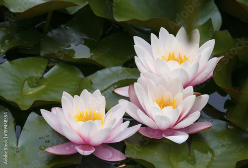 Deurstickers Waterlelies Beautiful waterlilies or lotus flowers