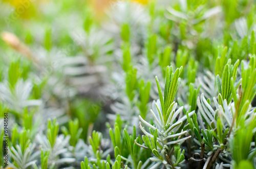 Photo  Lavender green leaves at spring closeup