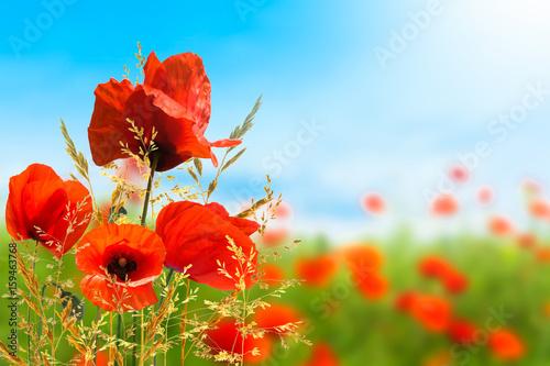 Plakat Maki, letnia łąka, letnie tło