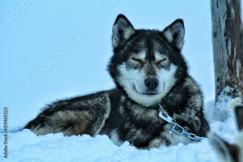 Canvas Prints Wolf snow