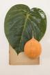 Herbarium - Granadilla Blatt und Granadilla Frucht