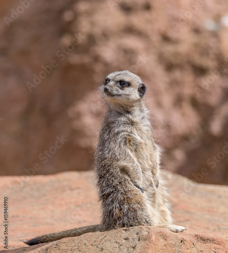 Canvas Prints Cat MeerKat