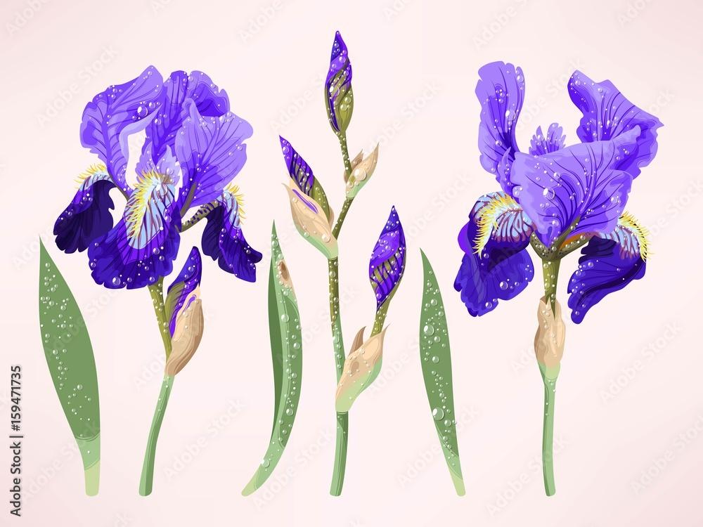Fototapeta Iris vector set