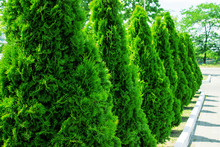 Thuja Alley And Road In Summer
