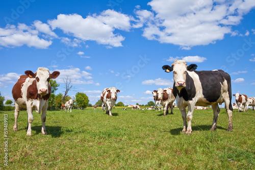 Poster de jardin Vache Vache Montbéliarde et paysage de campagne