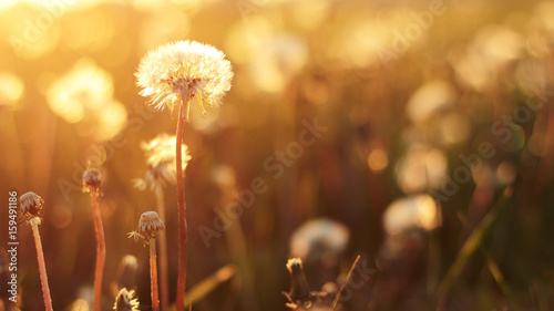 Foto op Canvas Cappuccino Dandelion on the meadow at sunlight background