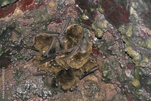 bat - Common noctule - (Nyctalus noctula) in cave
