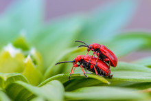 Two Red Bloody Nosed Beetle