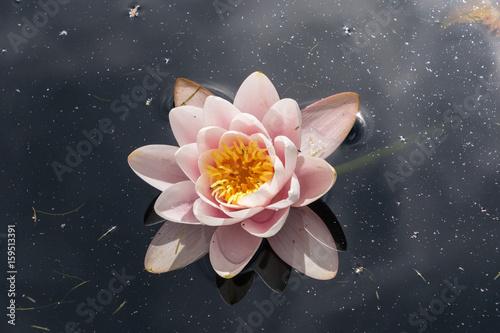 Photo  White Waterlily flowers