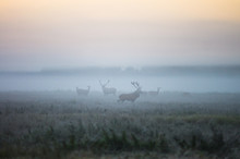 Two Males Of A Red Deer And Se...