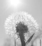 dandelion - 159524355