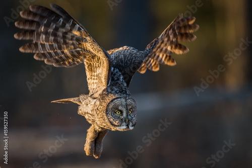 Keuken foto achterwand Uil Great Gray Owl