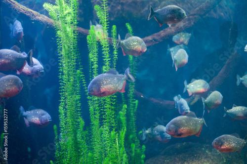 Valokuva  dangerous piranha in the water