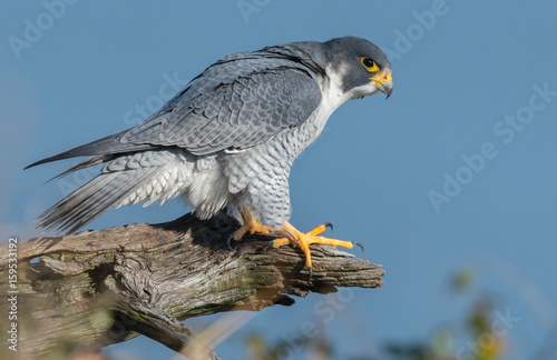Foto op Canvas Vogel Peregrine Falcon
