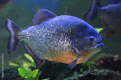 big piranha fish - Buy this stock photo and explore similar images