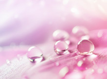 Abstract Natural Background With Beautiful Water Drops On A Pink And Lilac Petal Peony Close-up Macro. Gentle Soft Elegant Airy Artistic Image With Soft Focus.