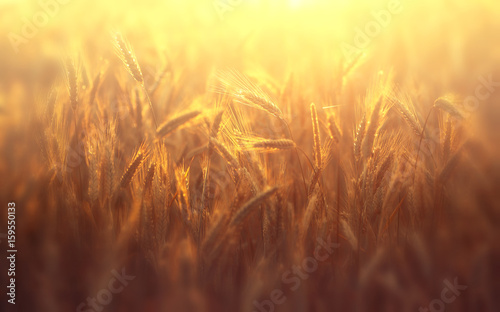 Foto auf Gartenposter Landschappen Golden ears of ripe rye in the sun at dawn or sunset with a soft focus and blurred soft background.